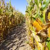 la-union-corn-maze-new-mexico-1534196649